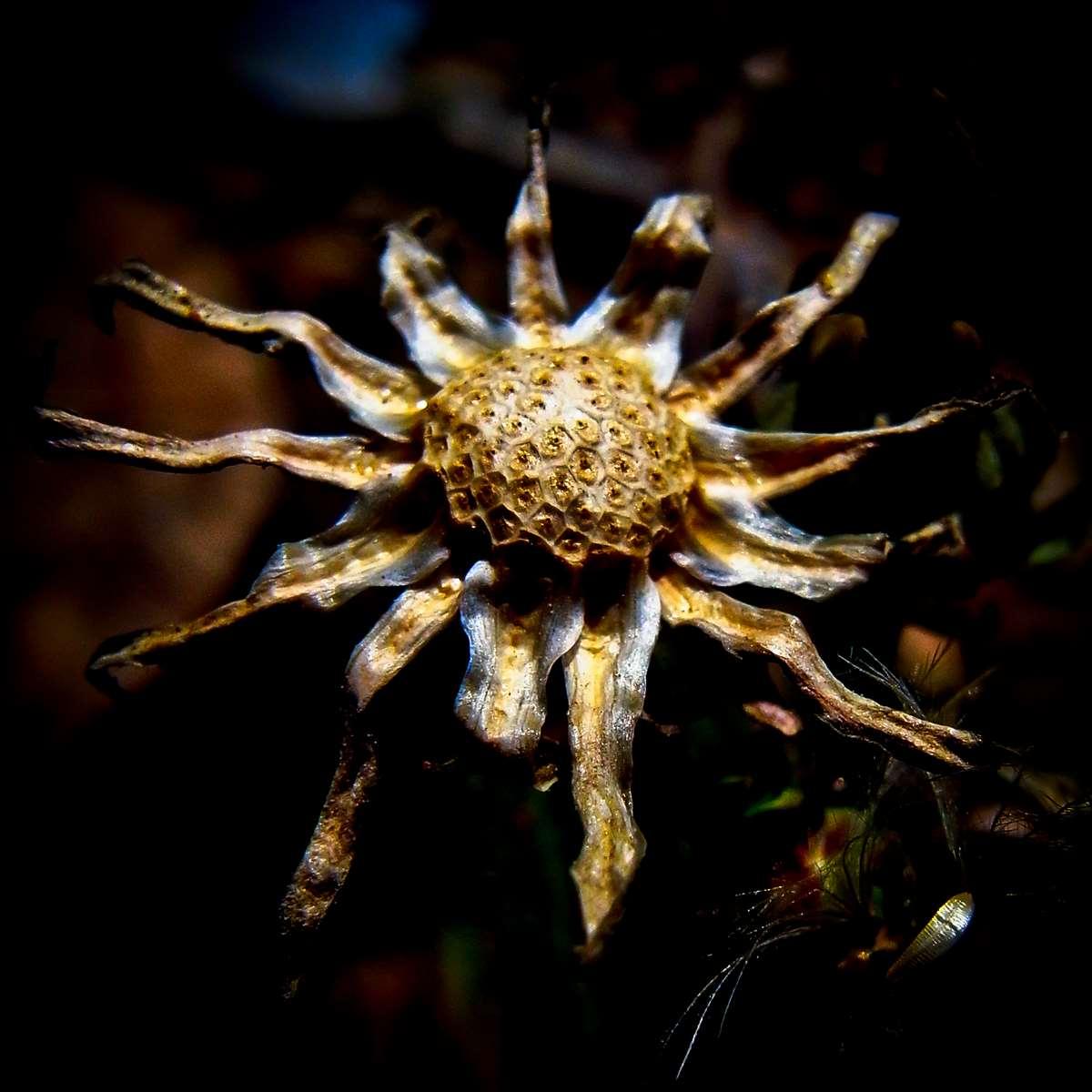 Old Dandelion became a Sun King