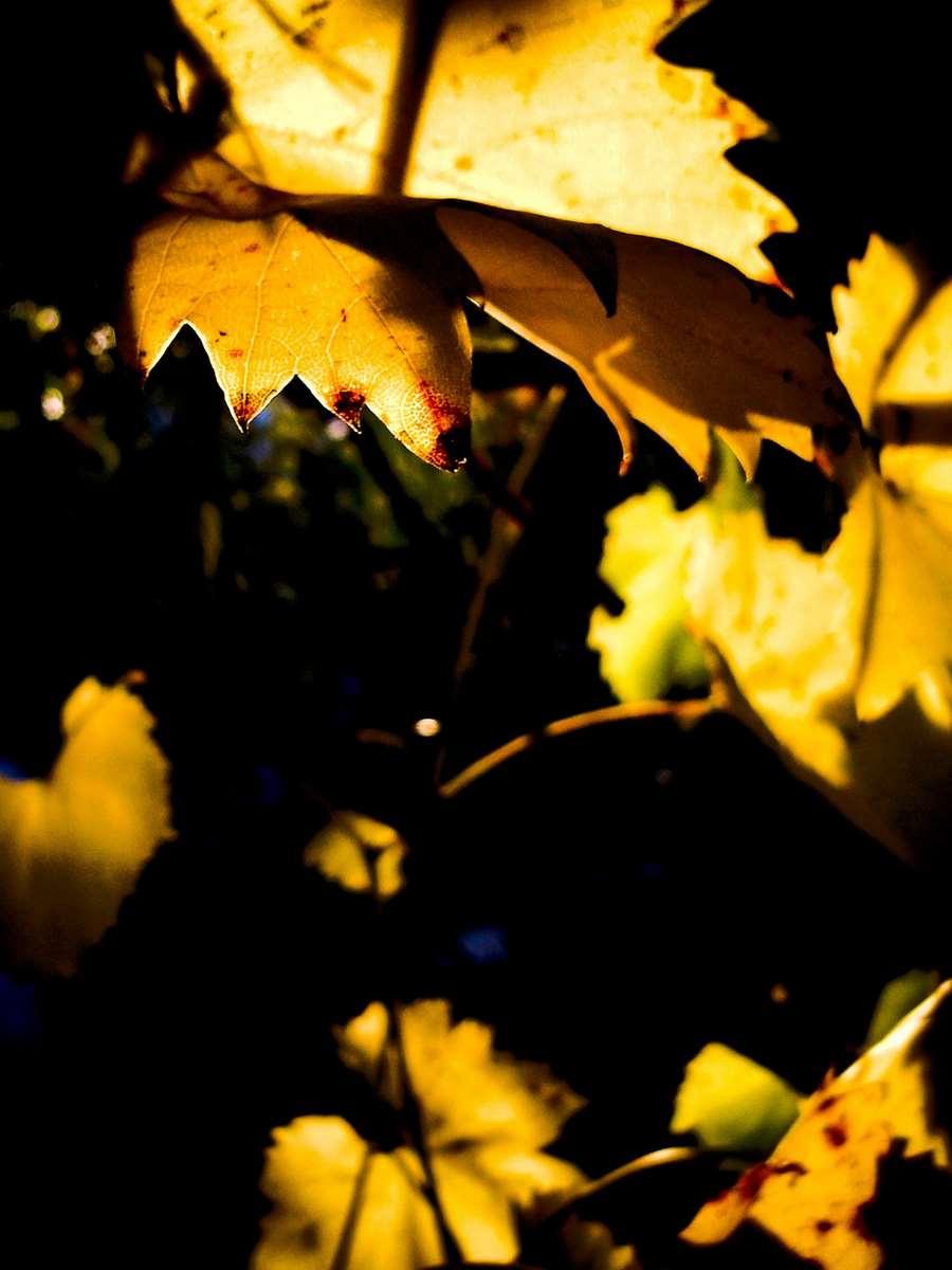Wineyard leaves