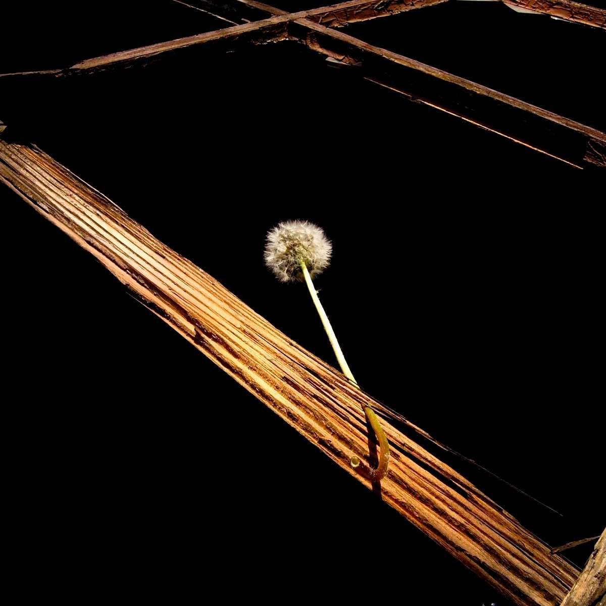 Dandelion in the frame