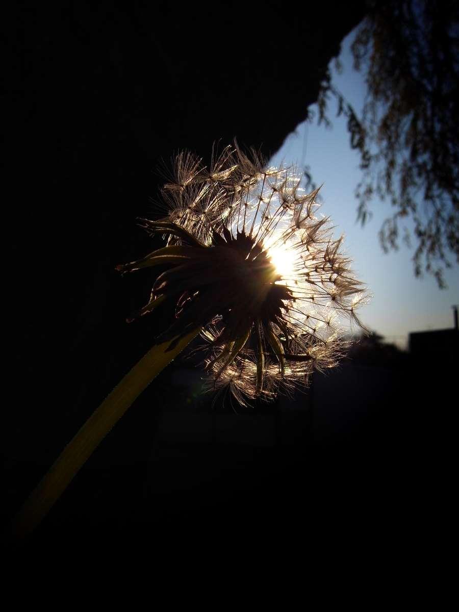 Dandelion is making a wish
