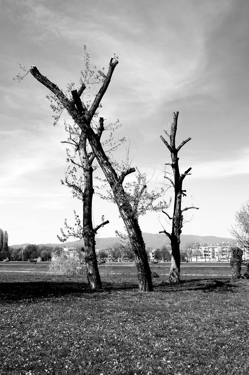 Three trees - bw