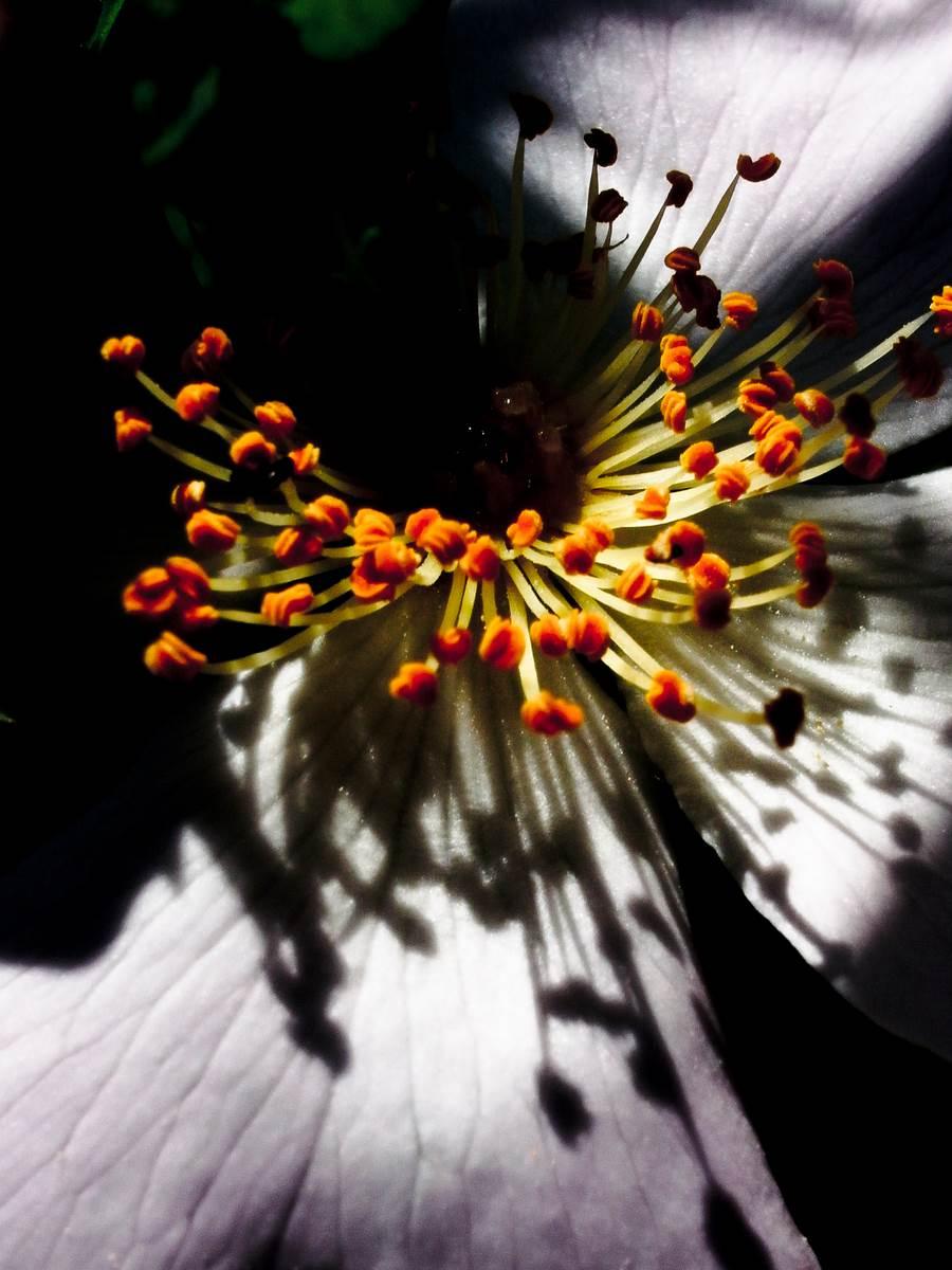 Orange anthers